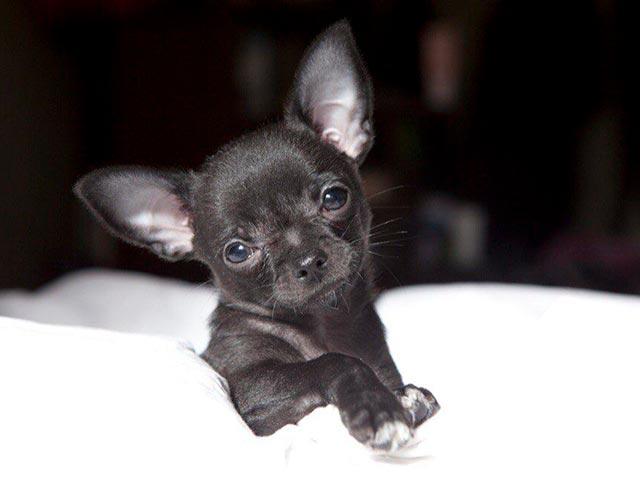 Черный маленький чихуахуа Фото