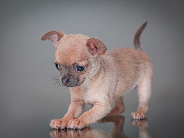 Фото  собачки чихуахуа