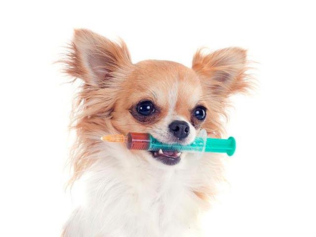 Прививка для чихуахуа Фото