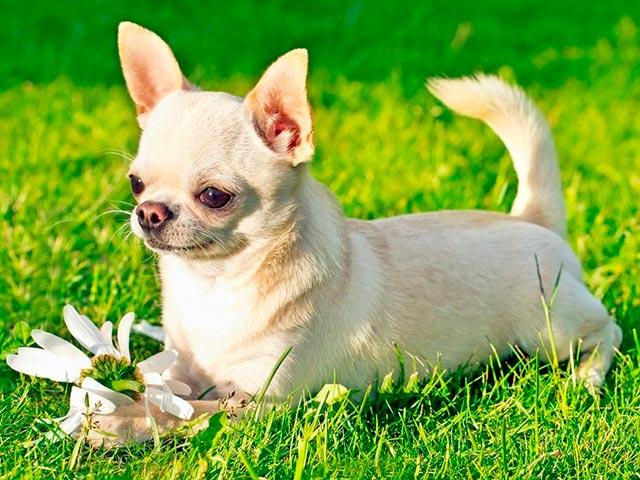 Сука чихуахуа на траве Фото